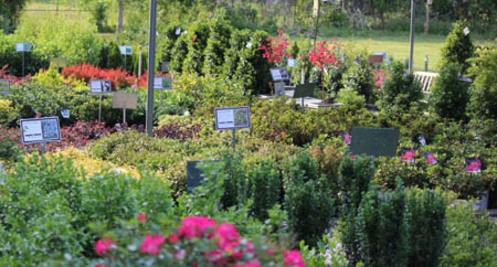 Roses, trees and shrubs for sale at Homestead Garden Center, Williamsburg