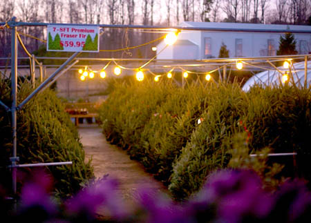 Christmas Trees for Sale at Homestead Garden Center, Williamsburg